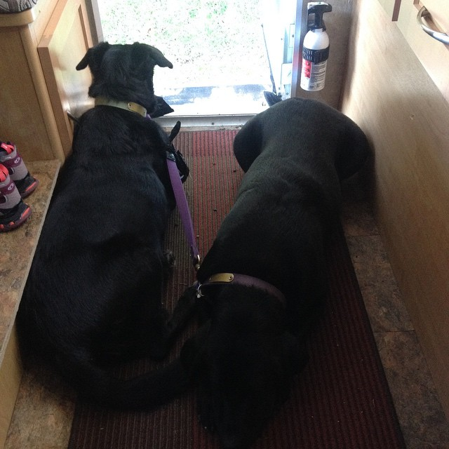 Black dog guard at camp. I am safe while cooking breakfast!